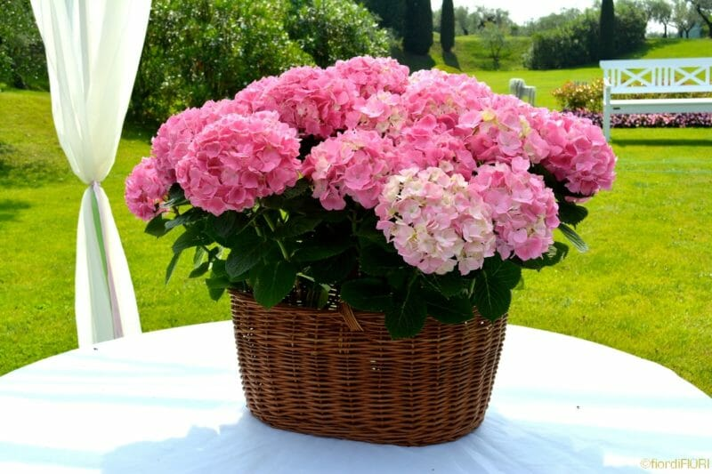 Ortensie Rosa Cipria : Fiordifiori matrimonio ortensie rosa